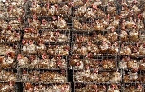 chickenincage1